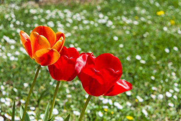 Tulipanes de colores admirables en campo de flores