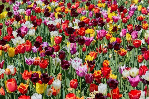 Tulipanes de colores.
