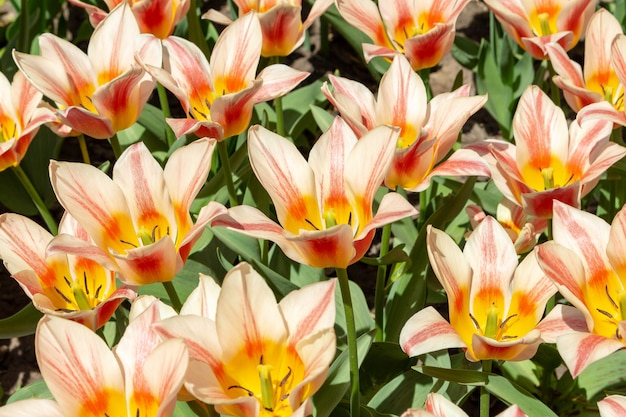 Tulipanes coloridos flores frescas