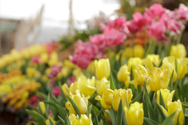Tulipanes coloridos en jardín