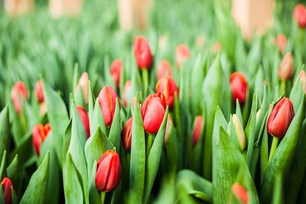 Tulipanes cultivados en invernadero, flores naturales, plantas varietales.