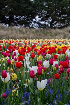 Tulipanes en flor en keukenhof, el parque de jardines de flores más grande del mundo