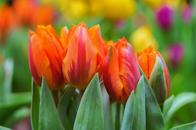 Tulipanes flores de primavera