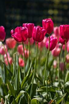 Tulipanes en el jardín