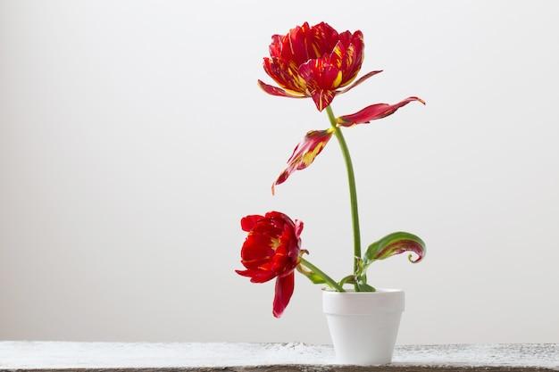 Tulipanes en maceta sobre fondo blanco