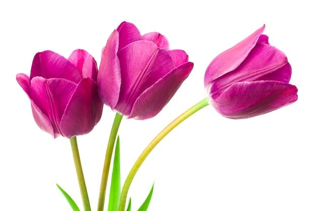 Tulipanes morados aislados en blanco
