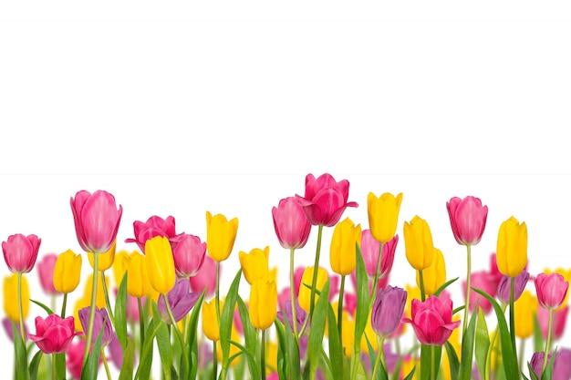 Tulipanes de la primavera del color aislados en el fondo blanco.