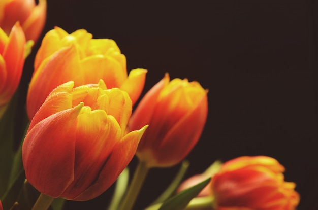 Tulipanes rojo-naranja con gotas de agua sobre un fondo negro.