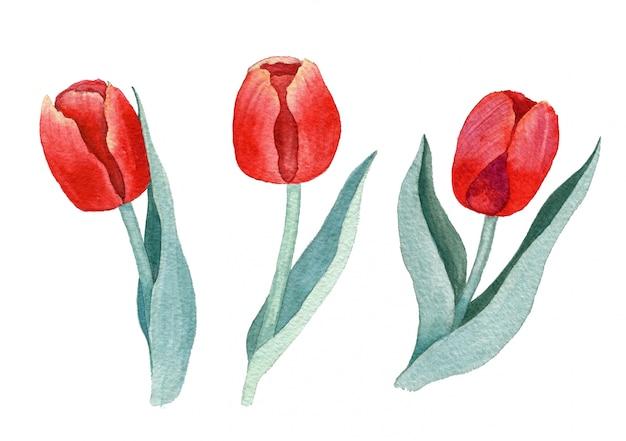 Tulipanes rojos acuarela sobre un fondo blanco