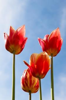 Tulipanes rojos anaranjados en el cielo azul soleado