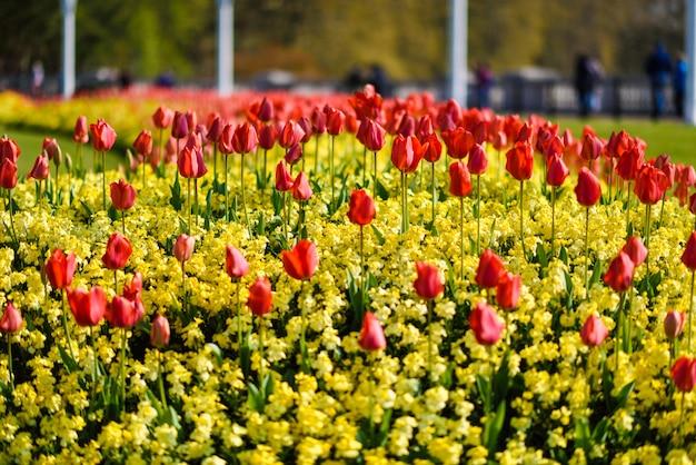 Tulipanes rojos cerca del palacio de buckingham en londres
