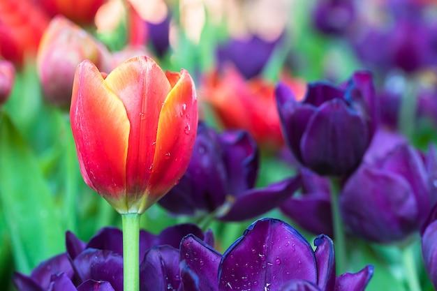Tulipanes rojos y morados en el jardín.