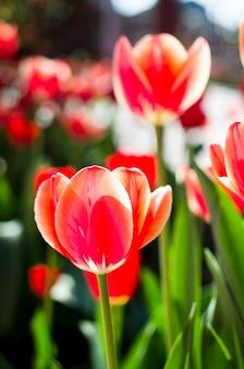 Tulipanes rojos sobre un fondo floral suave