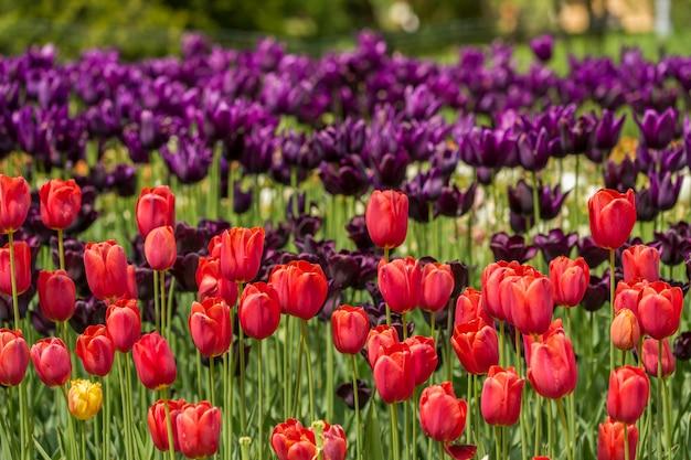 Tulipanes rojos y violetas en una cama de flores en el jardín