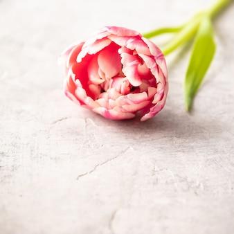 Tulipanes rosa pastel en mal estado