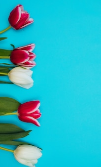 Los tulipanes rosados y blancos se encuentran en una fila sobre un fondo azul. el concepto de la fiesta el 8 de marzo de san valentín. una tarjeta de felicitación jugosas hojas verdes.
