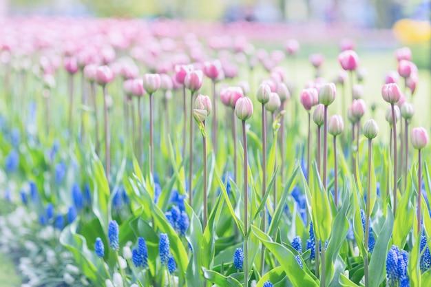Tulipanes rosados en un fondo largo del tallo. tono, enfoque suave.