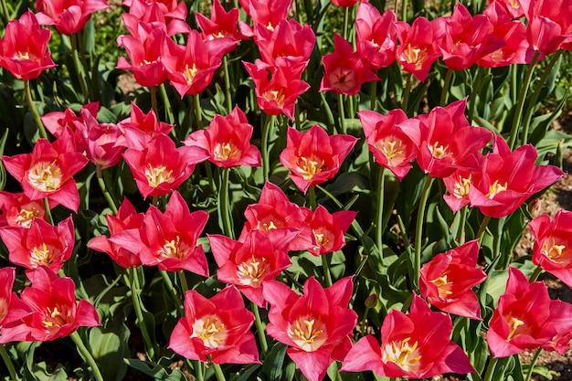 Tulipanes rosas en el jardín.
