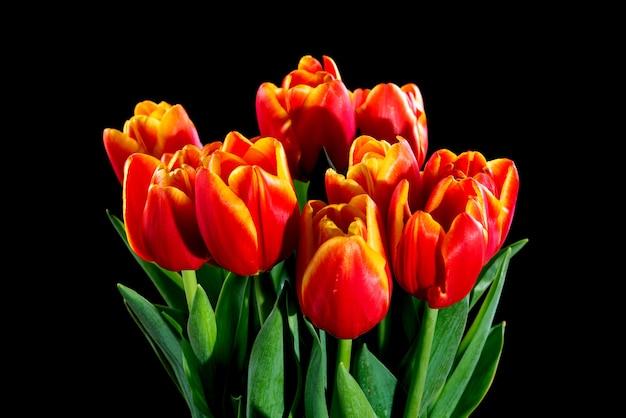 Tulipanes sobre un fondo negro
