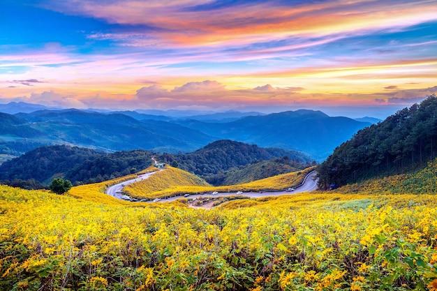 Tung bua tong campo de girasol mexicano al atardecer, provincia de mae hong son en tailandia.