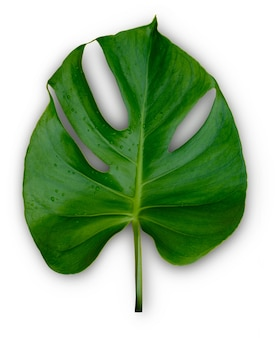 Única hoja de la planta monstera de la selva tropical aislada sobre fondo blanco
