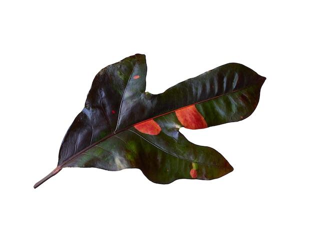 Único color rojo-verde hoja tropical única. aislado en blanco