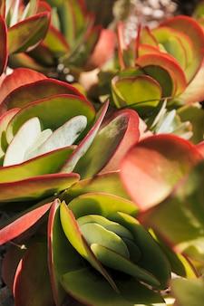 Único colorido flapjack cactus o paleta planta kalanchoe luciae