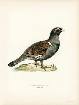 Urogallo occidental (tetrao urogallus) ilustrado por los hermanos von wright.