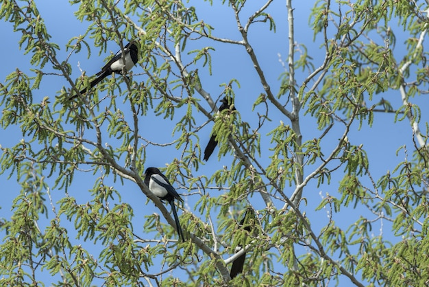 Urracas en la cima de un árbol con cielo azul en el fondo