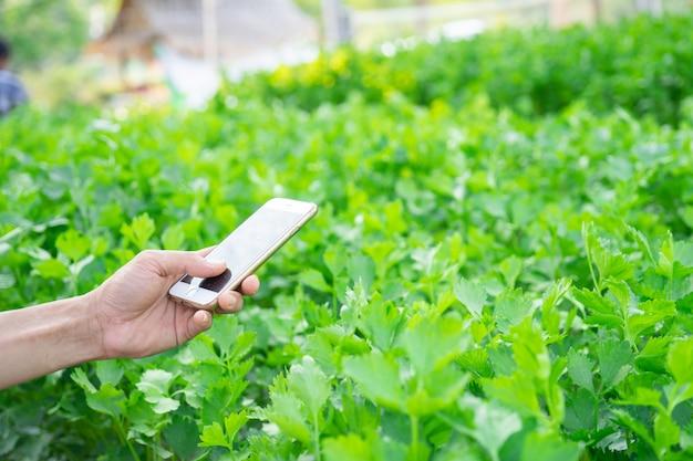 El uso del hombre de la mano comprueba el apio orgánico fresco del smartphone en huerto.