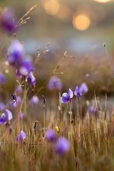 Utricularia delphinioides es una planta insectívora de la familia wong suoi wanna. planta herbácea. las flores son un ramo de púrpura oscuro.