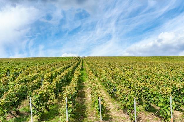 Uva de vid de fila en los viñedos de champán en montagne de reims