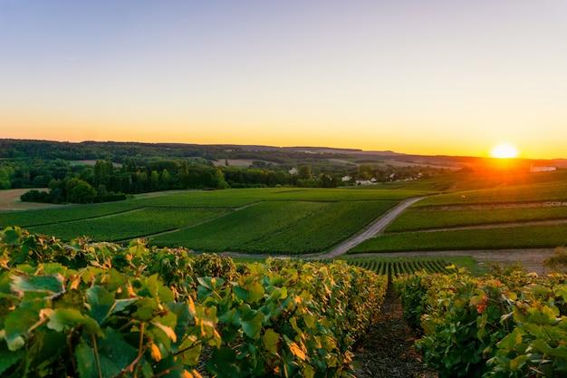 Uva de la vid de la fila en viñedos del champán en el montagne de reims