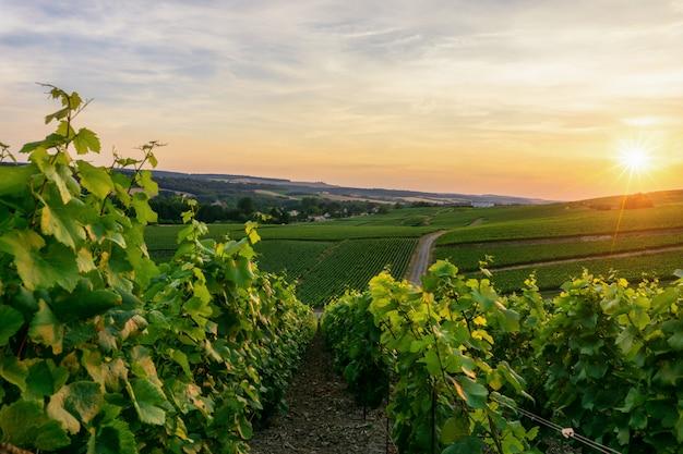 Uva de la vid de la fila en viñedos del champán en el pueblo del campo de montagne de reims