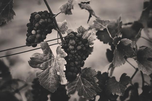 Uvas colgando con hojas en el patio de la vid