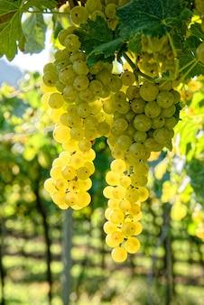 Uvas jugosas maduras frescas que crecen en las ramas de un viñedo