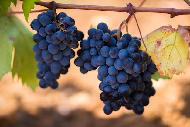 Uvas moradas maduras con hojas