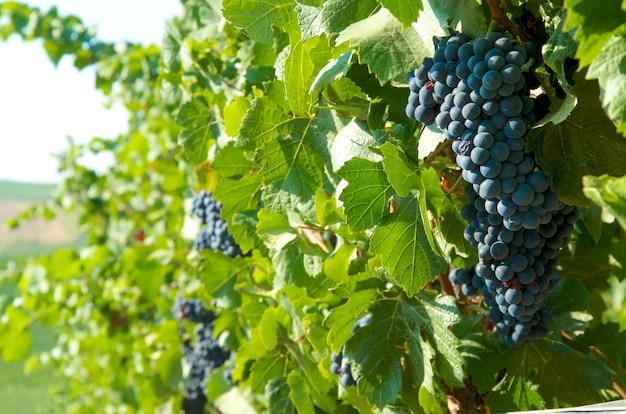 Uvas negras en los viñedos.