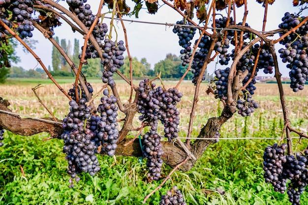 Uvas oscuras que crecen en las vides en un gran paisaje