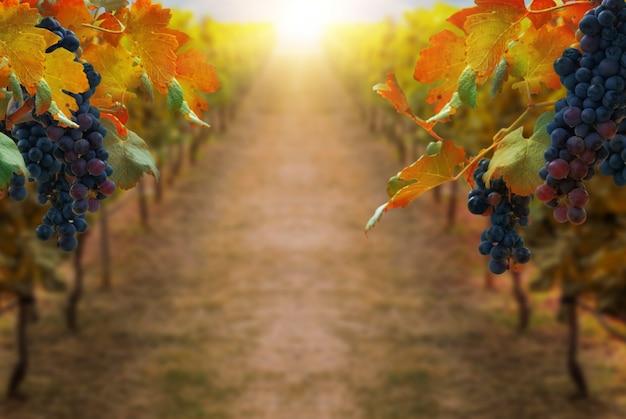 Uvas en el paisaje de viñedos en transilvania