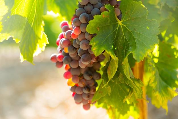 Uvas en planta de viñedos en día soleado
