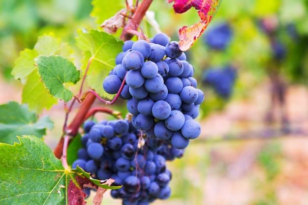 Uvas en la planta