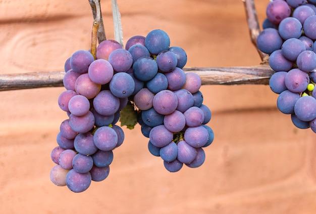 Uvas rojas púrpuras con hojas verdes en la vid. frutas frescas.