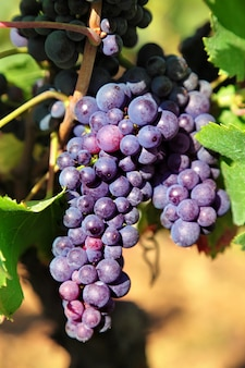 Uvas rojas que en un viñedo