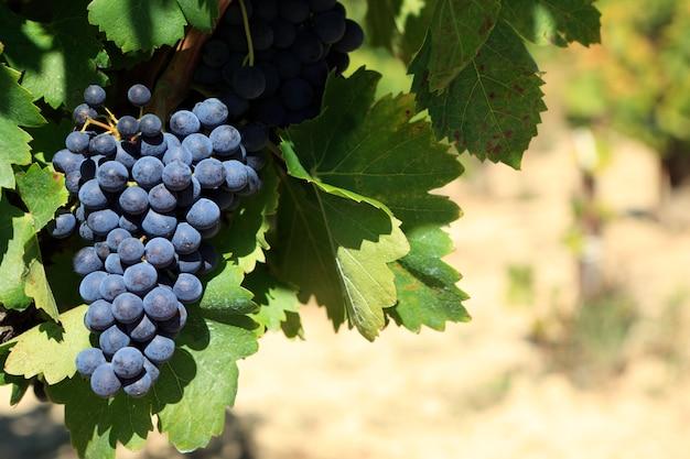 Uvas de vino tinto