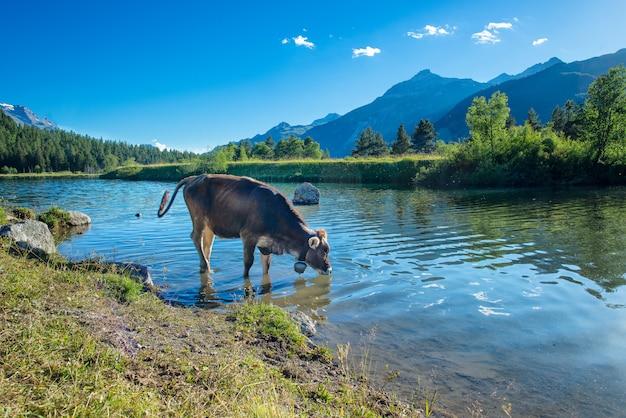Vaca bebe en un lago de montaña