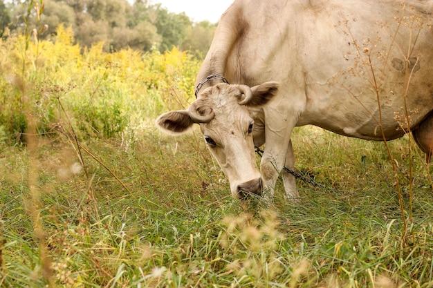 Vaca beige en un pasto de verano comiendo hierba.