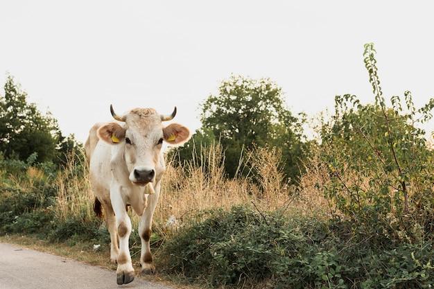 Vaca blanca corriendo en el camino rural