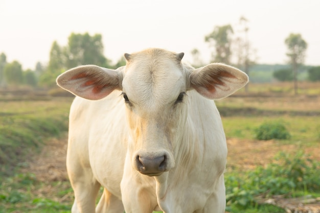 Vaca blanca en pradera