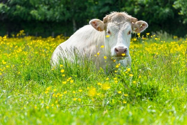Vaca blanca en el prado verde